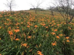 【台東太麻里】オレンジの花が美しい金針花を見に行こう!